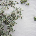 Oude druivenstruik telen in de moestuin